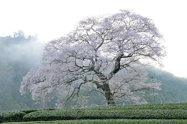 雲海と牛代水目桜