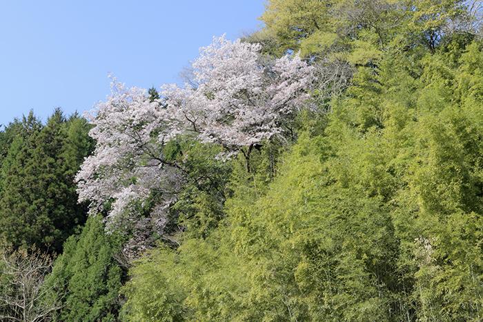 山桜が祝福するかのごとし