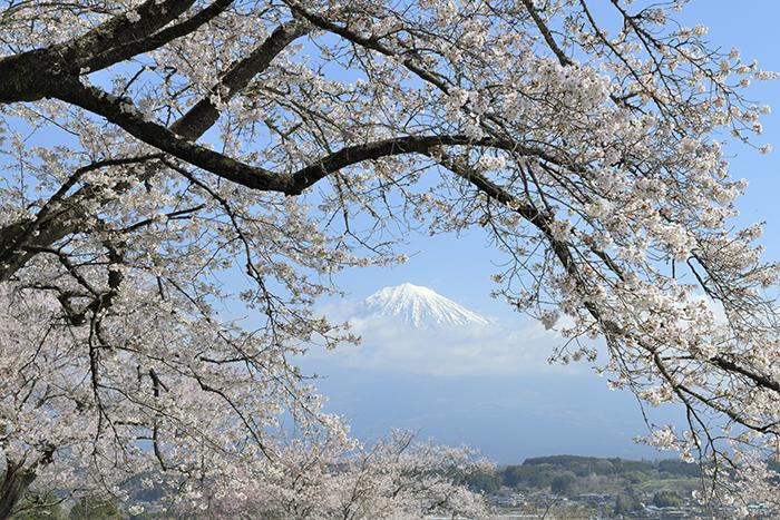 枝垂れ桜と富士山