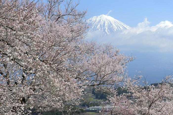 桜笑う季節