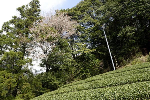 足久保の奥地の茶園です