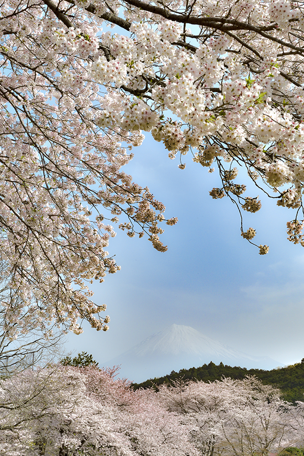 岩本山の桜満開