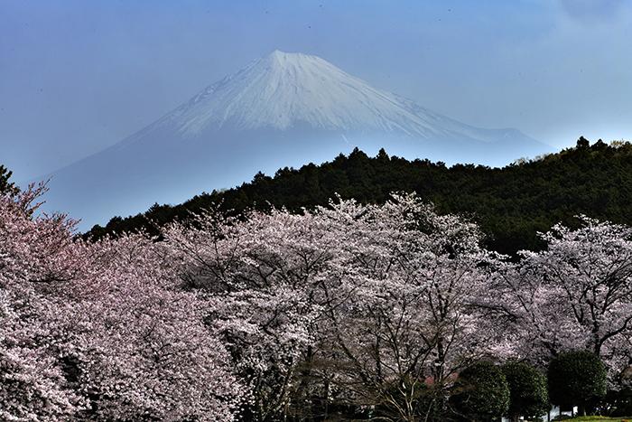 岩本山の桜満開2