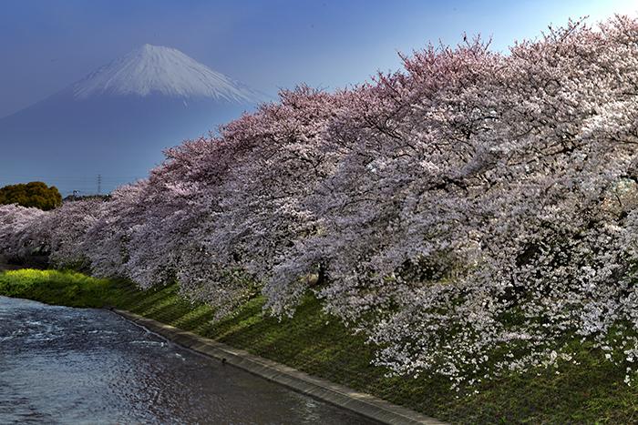 桜堤と潤井川越しの富士山