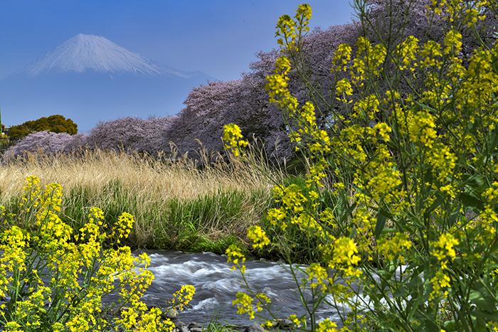 春爛漫の潤井川