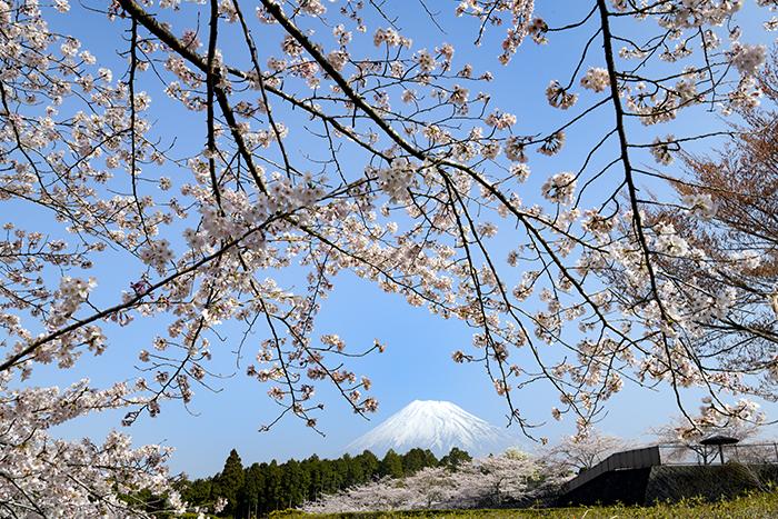 桜の窓からの富士山