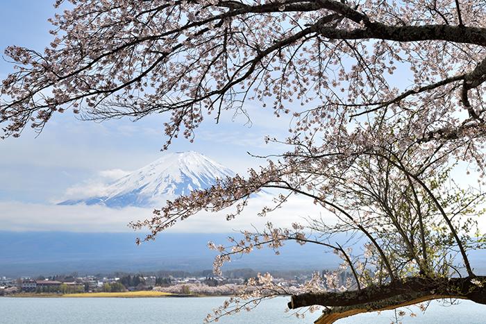 桜の古木のある湖畔