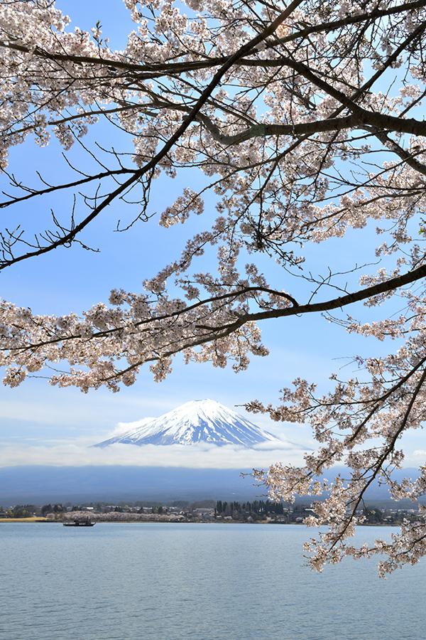 河口湖満開桜