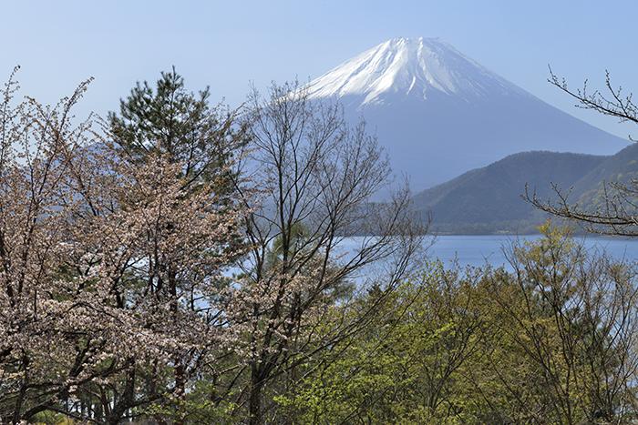 新緑と桜と富士山
