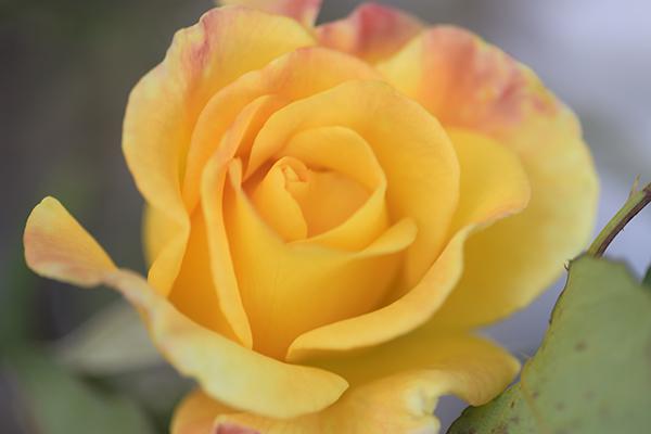 ランニングコースのバラ