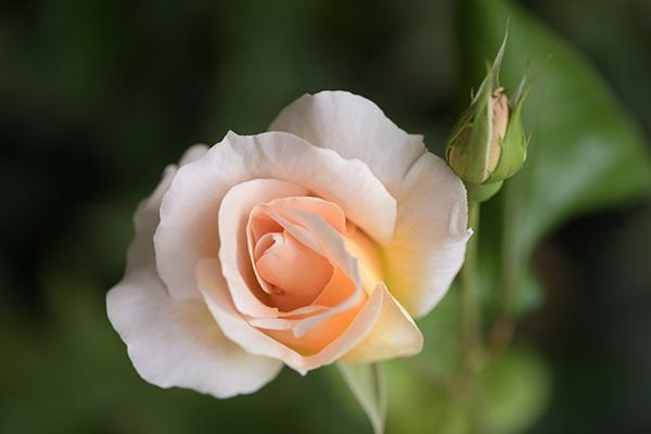 母の日のバラ