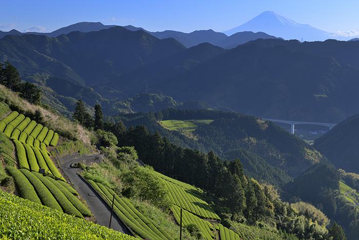 青い富士、新緑の茶畑