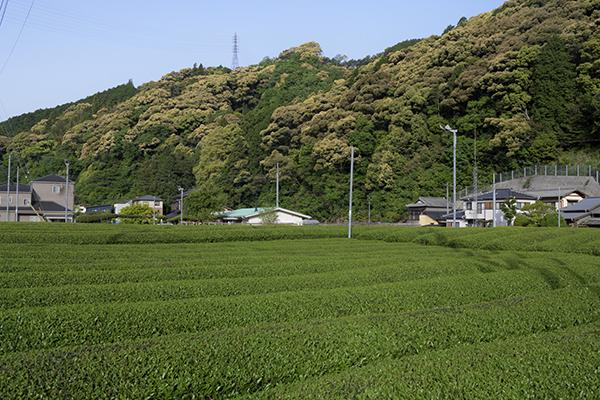 茶畑の中のコテージ