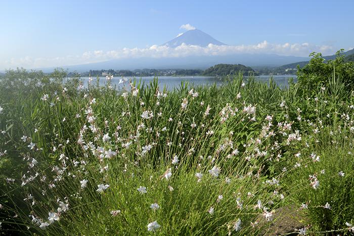 白鳥草(ガウラ)咲く湖畔