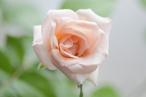 雨の日に咲く薔薇
