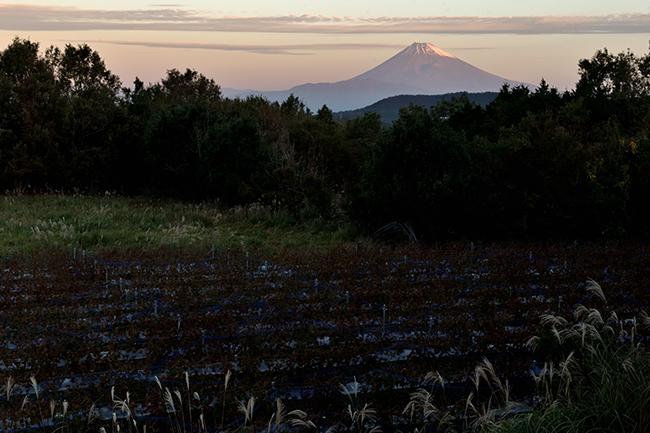 葡萄畑と富士山