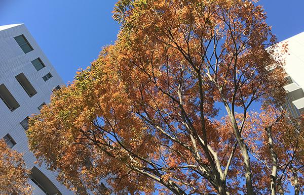 静岡市のけやきも紅葉しつつあります